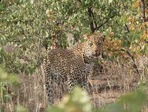 Auf dem Rückweg zum Phalaborwa Gate im Krüger-Nationalpark standen wir Auge in Auge mit diesem Leoparden. Er schien sehr neugierig, aber dennoch zurückhaltend und so konnten wir viele tolle Bilder machen.  © Stefanie Schulz